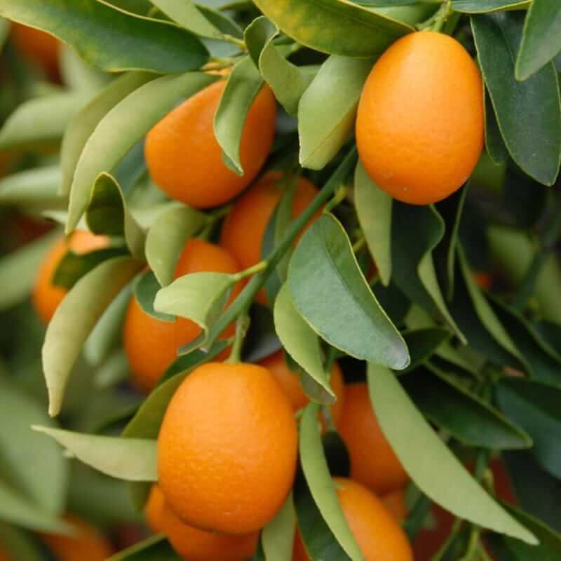 kumquat bon a manger